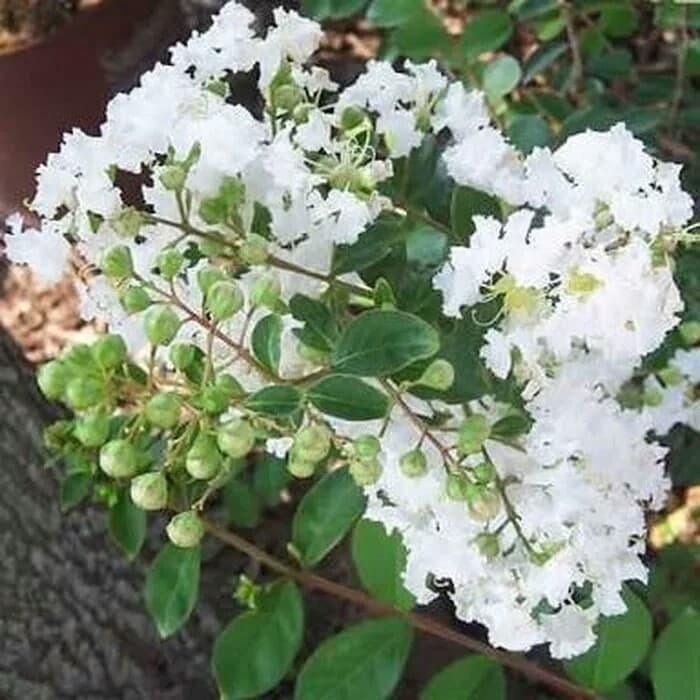 Tanaman Hias Bunga Sakura Putih Shopee Indonesia