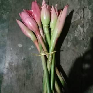 Bunga Kantan Kecombrang Kincung Shopee Indonesia
