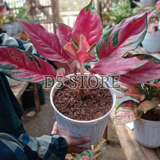 <*> aglonema kocin camelon 5-10 daun /aglonema red kocin / tanaman hias aglonema / tanaman aglonema
