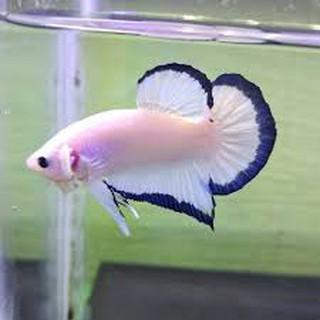 Ikan Cupang Jenis Blue Rim Shopee Indonesia