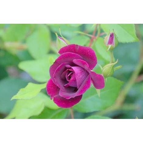 84+ Gambar Bunga Mawar Hidup Paling Keren