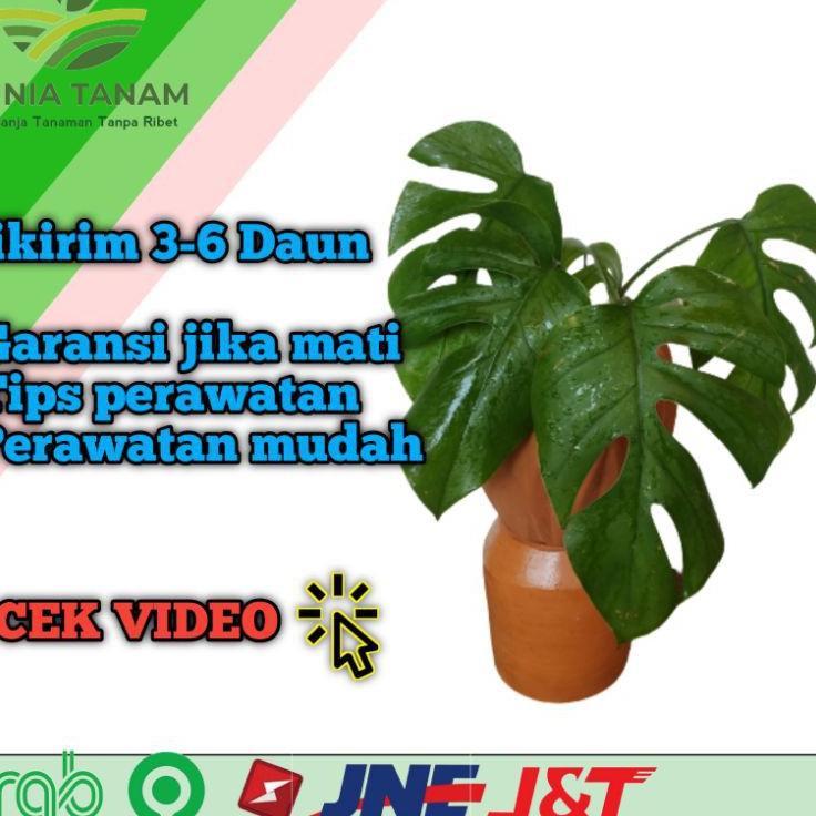 Terbagus Tanaman Hias Monstera Deliciosa Philodendron Varigata Janda Bolong Shopee Indonesia