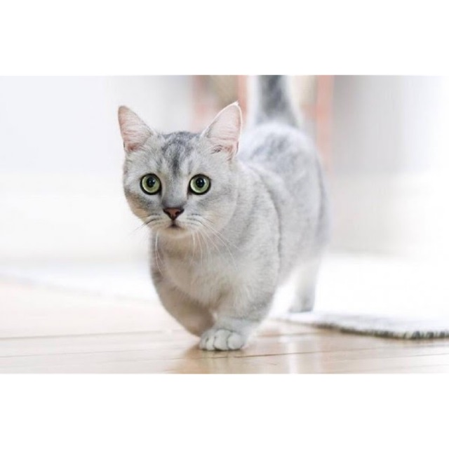 Kucing Munchkin Cebol Parah Shopee Indonesia