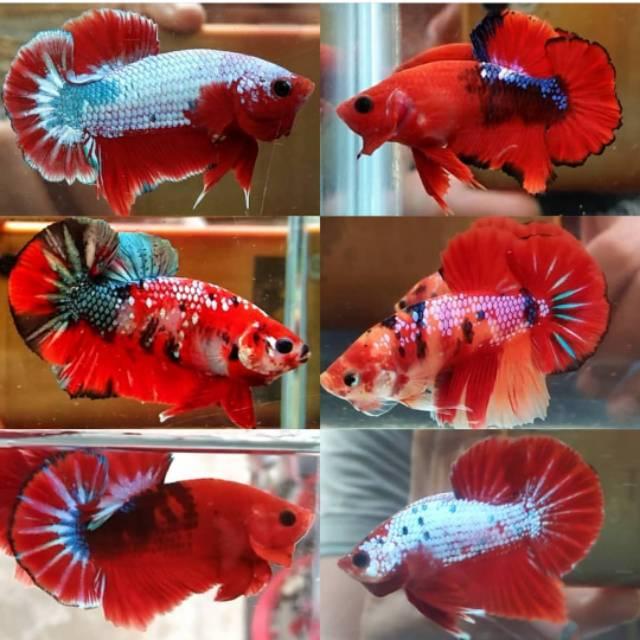 Ikan Cupang Plakat Koi Nemo Jantan Betina Shopee Indonesia