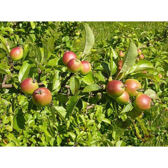 Benih / Bibit / Seeds Buah Apel Hijau Apel Manalagi European Crab Apple fruit Import
