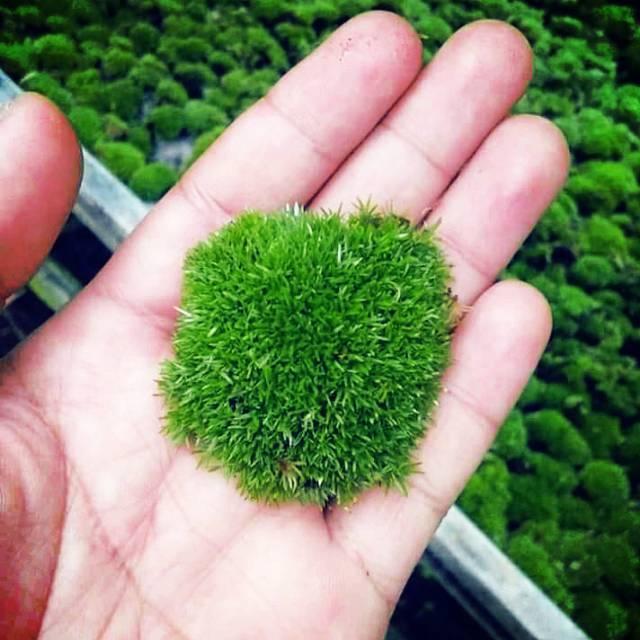 Moss Darat Byrophyta Pernampan Shopee Indonesia