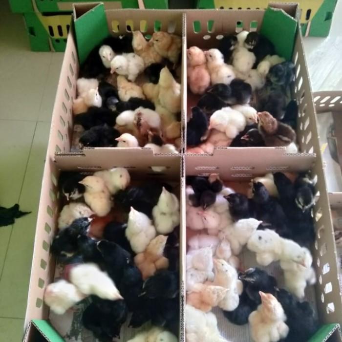 DOC ayam Joper | Ayam Jawa Super I Ayam Kampung Super I Bibit ayam Joper