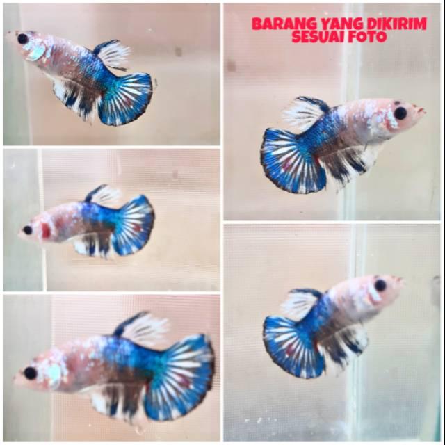 Ikan Cupang Fccp Fancy Choper Plakat Blue Rim Line Thailand Shopee Indonesia