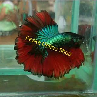 Ikan Cupang Halfmoon Rosetail Ukuran Medium Warna RANDOM ...
