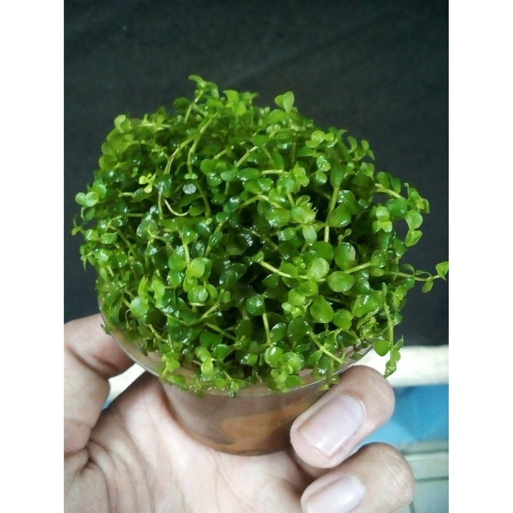 Tanaman Aquascape Micranthemum Monte Carlo Best Quality Shopee Fisiden Moss Lempeng Air Super Indonesia