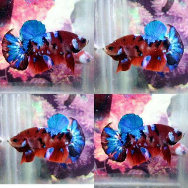 Ikan Cupang Koi Galaxy Multicolor Shopee Indonesia