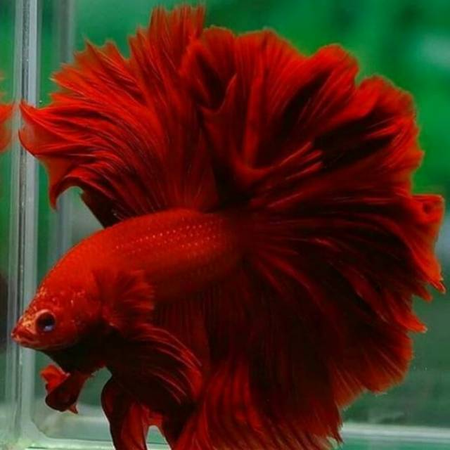 Cupang Halfmoon Super Red Rosetail Shopee Indonesia