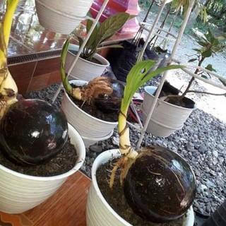 Bonsai Kelapa Gading Kuning Kecil Harga Ter Murah Ujkz1203