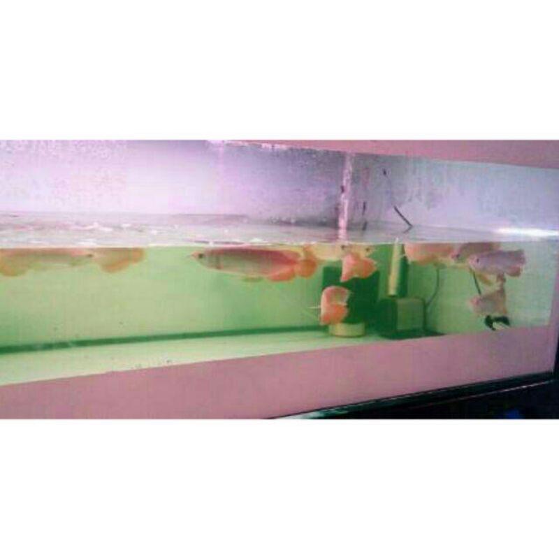 Ikan Arwana Super Red 20 cm