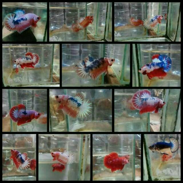 Anakan Burayak Ikan Cupang Fancy Yellow Red Blue White Scale Hellboy Avatar Dragon Shopee Indonesia