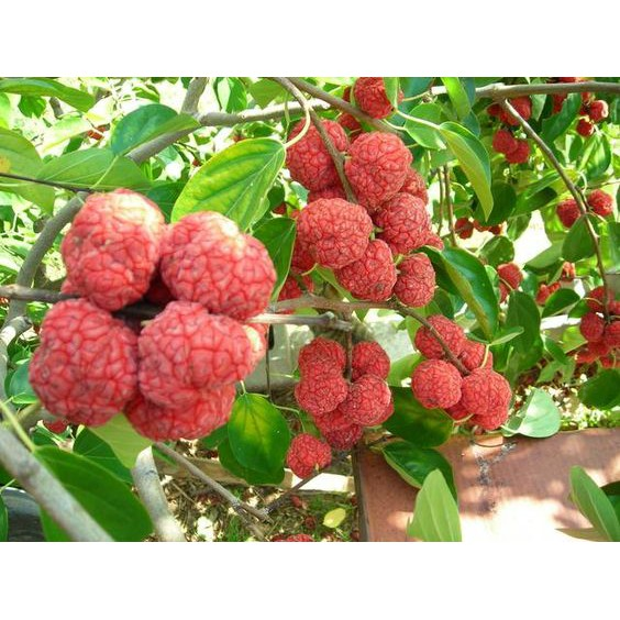 Amefurashi Bibit / Benih / Seeds Buah Chinese Mulberry Fruit Import Can Used As Ornamental Plant | Shopee Indonesia