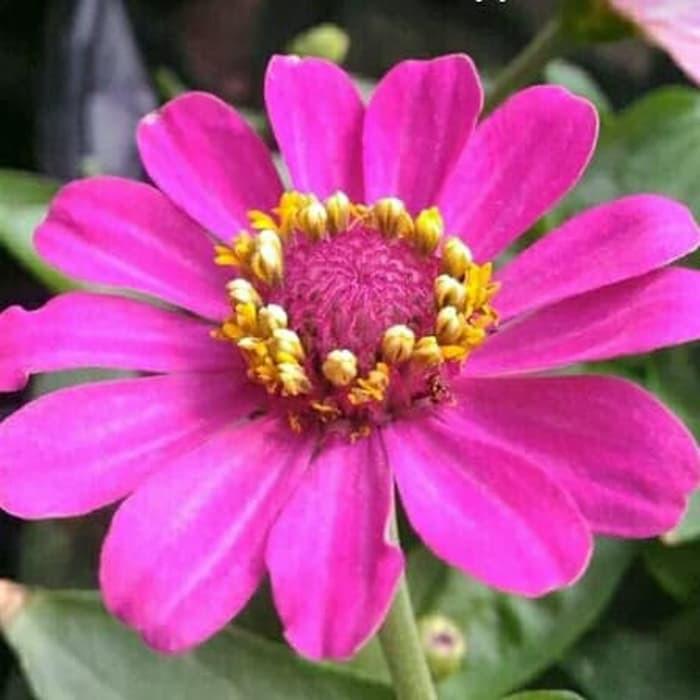 Tanaman Hias Bunga Kertas Zinnia Kembang Kertas Zinnia Zinnia