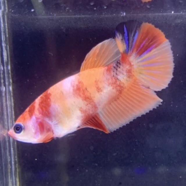 Cupang Female Betina Giant Multicolor Nemo Galaxy A03