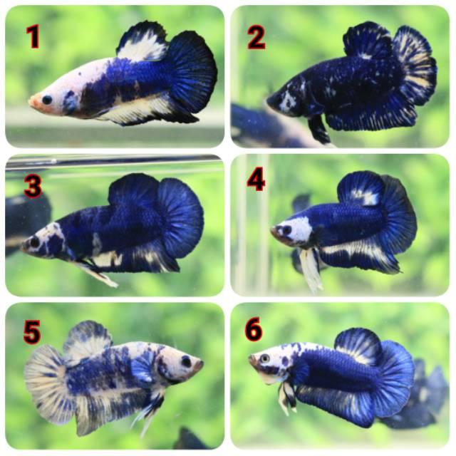 Ikan Cupang Blue Rim Blue Panda Marble Shopee Indonesia