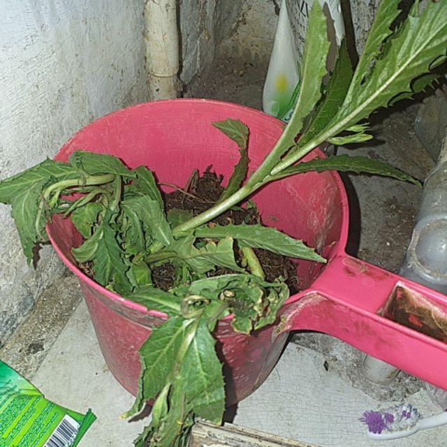 Diskon Tanaman Herbal Bunga Kitolod Obat Mata Rabun Silinder Katarak Minus Shopee Indonesia