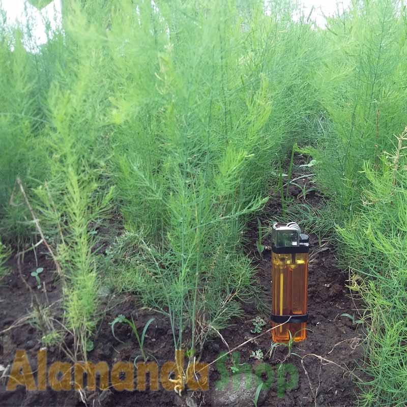 Tanaman Asparagus Hijau Sayur Shopee Indonesia