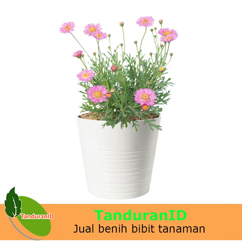 Tanaman Bunga Cosmos Lovely Pink Shopee Indonesia