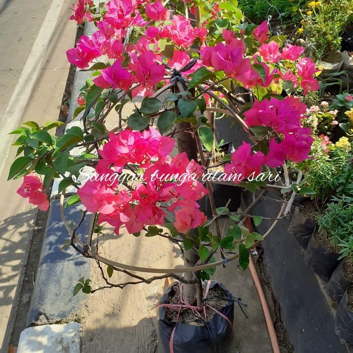 Tanaman Hias Bunga Kertas Bougenvil Pink Fanta Cantik Bulet Besar Shopee Indonesia
