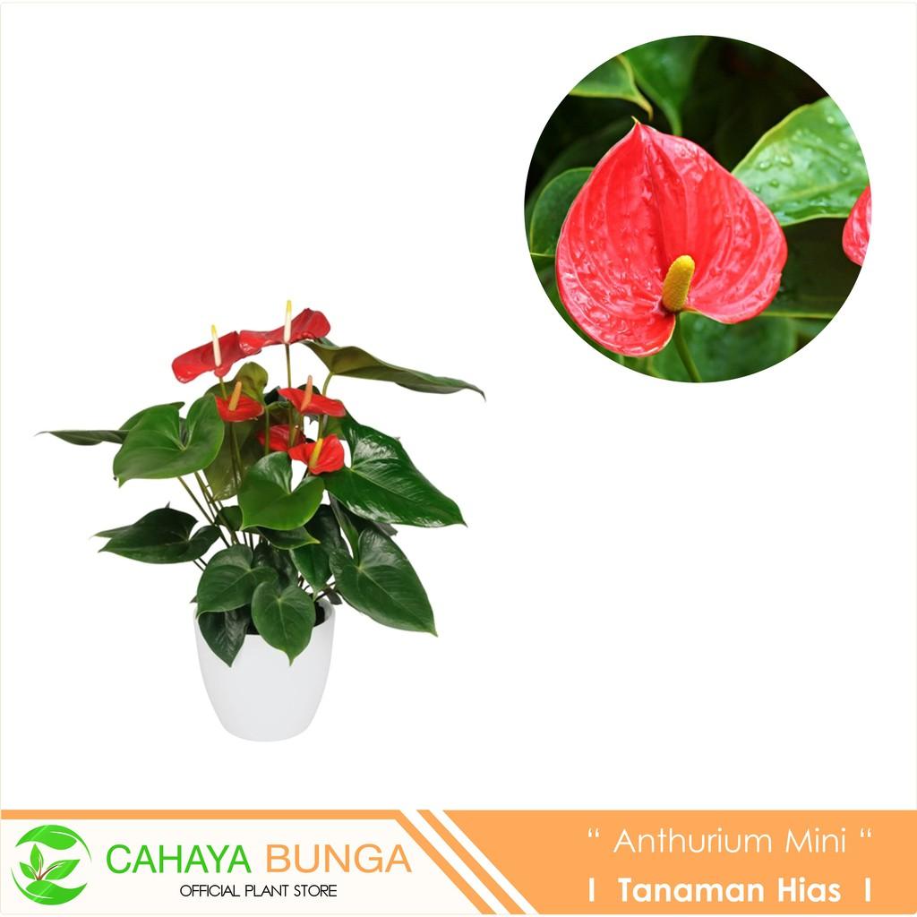 Tanaman Hias Bunga Anthurium Mini Merah I Mini Anthurium Shopee Indonesia