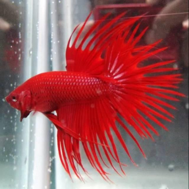 4000 Koleksi Gambar Ikan Cupang Sisir HD Terbaru