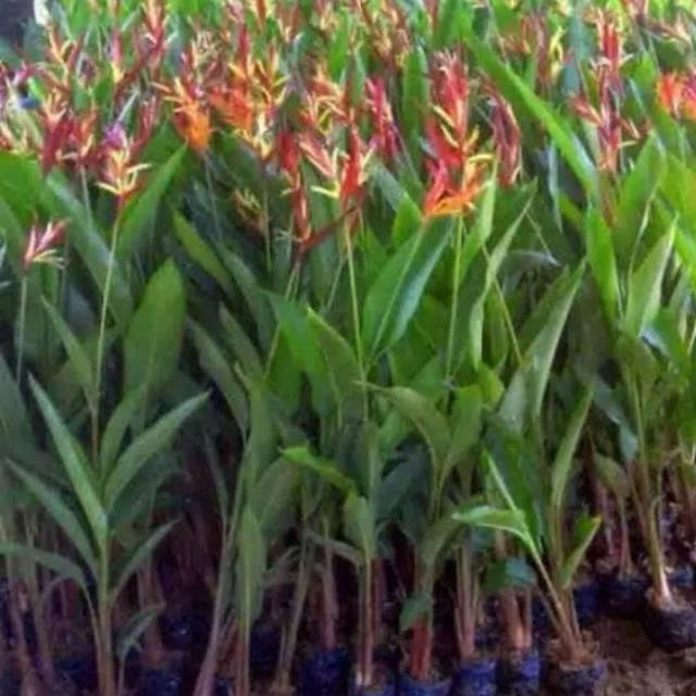 Tanaman hias Heliconia (pisang pisangan) | Shopee Indonesia