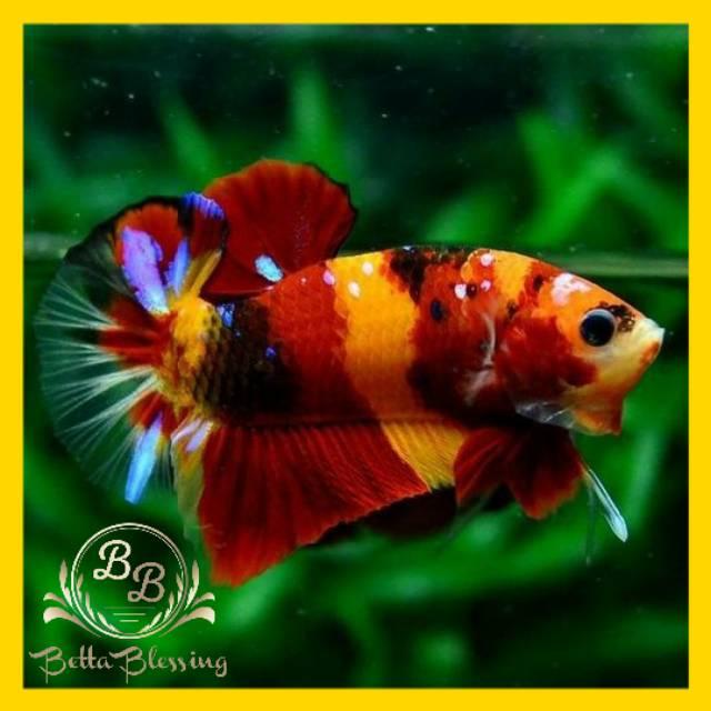 Ikan Cupang Hias Plakat Nemo Emerald Fullblock Shopee Indonesia
