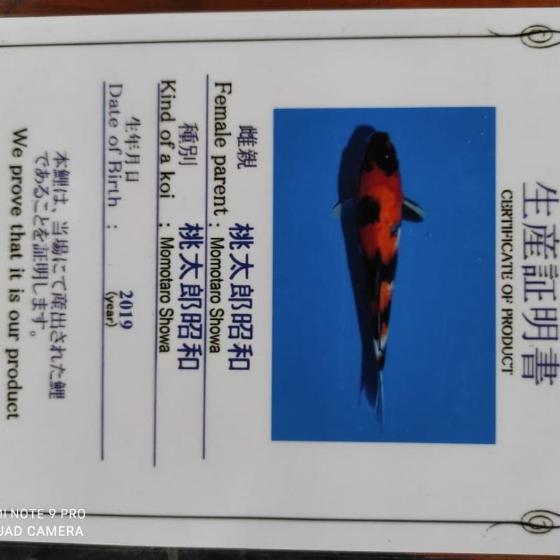 Ikan Koi Import Japan Sertifikat