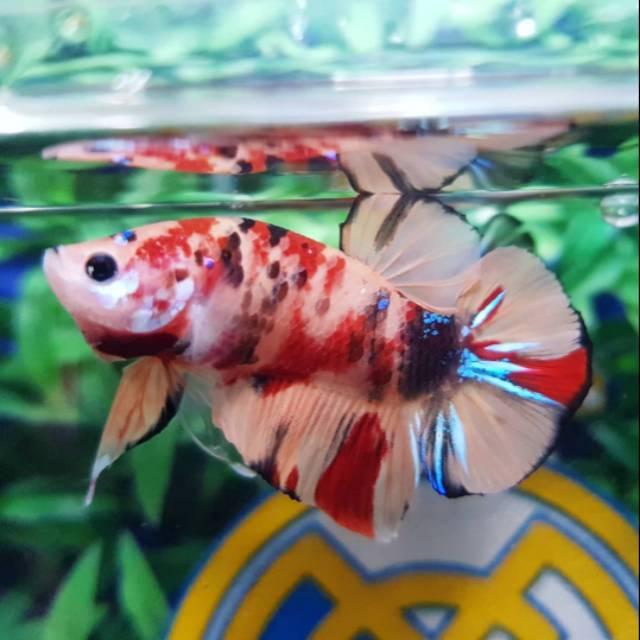 Ikan Cupang Plakat Nemo Galaxy Pk085 Shopee Indonesia