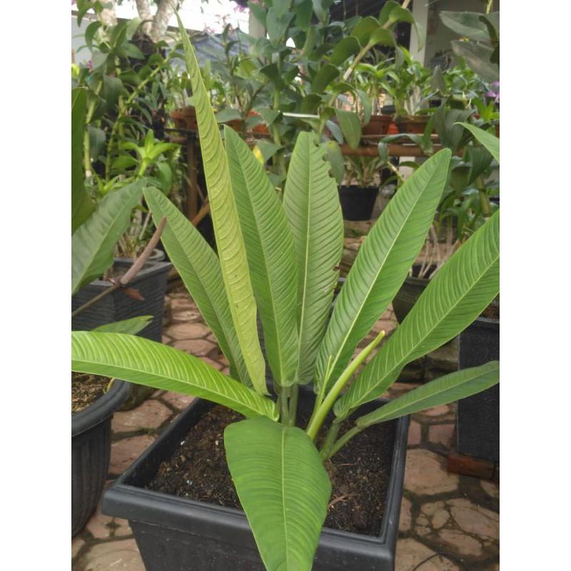 Lynette tanaman hias / linet