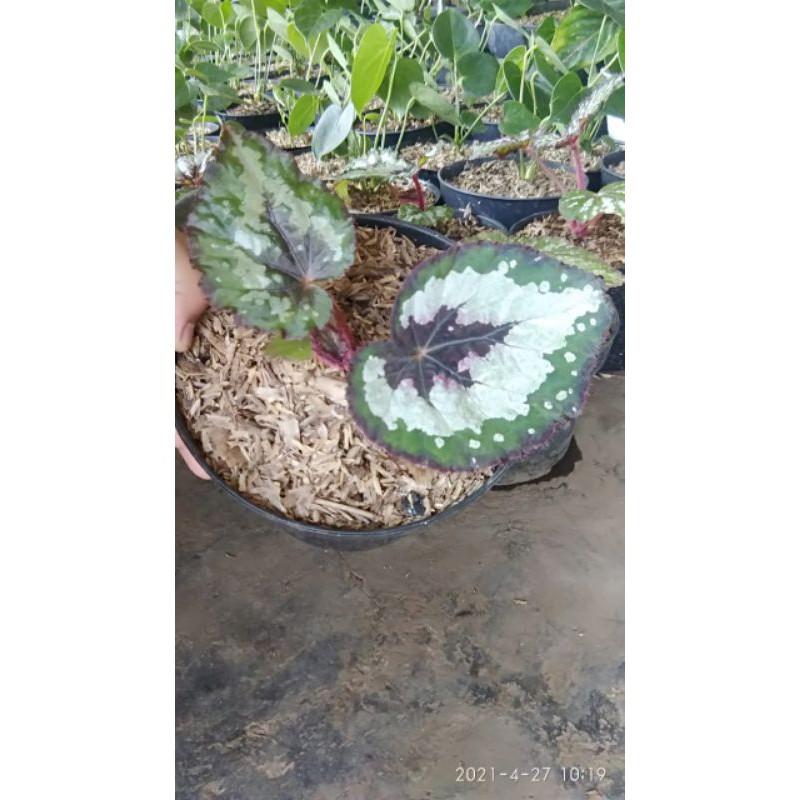 begonia rex pelangi