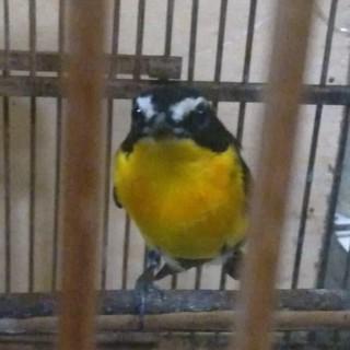 Burung Pladukan Semak Sikatan Bubik Opior Jawa Dan Slendang Biru Shopee Indonesia