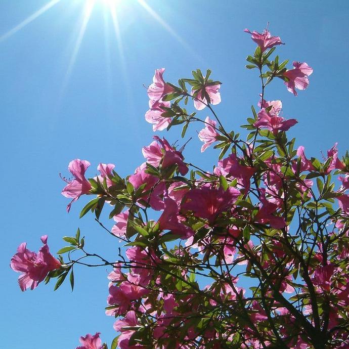 Bunga Azalea Biru