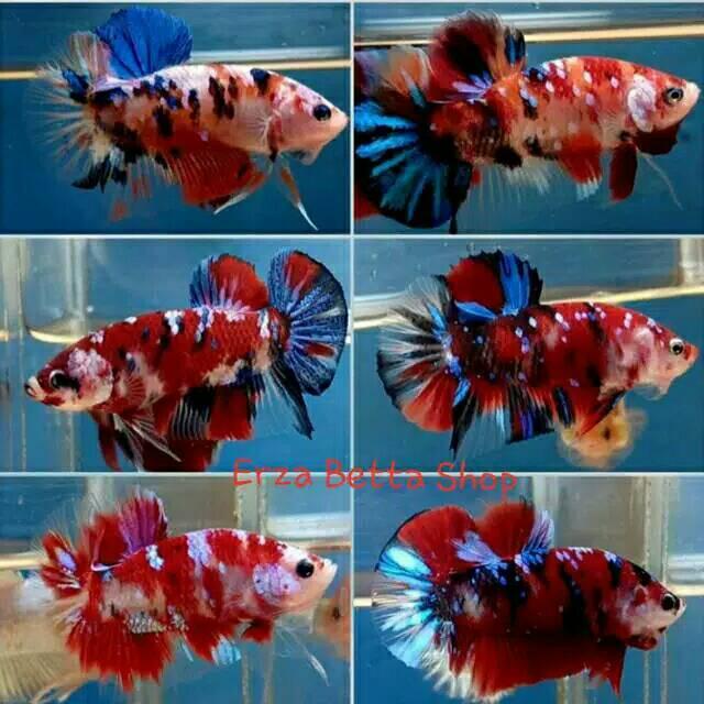 Ikan Cupang Koi Galaxi Multicolor Size Medium Shopee Indonesia