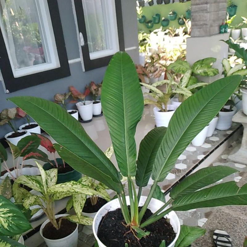 Linet tanaman hias