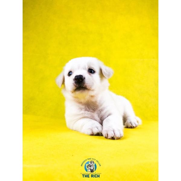 anjing golden mix samoyed