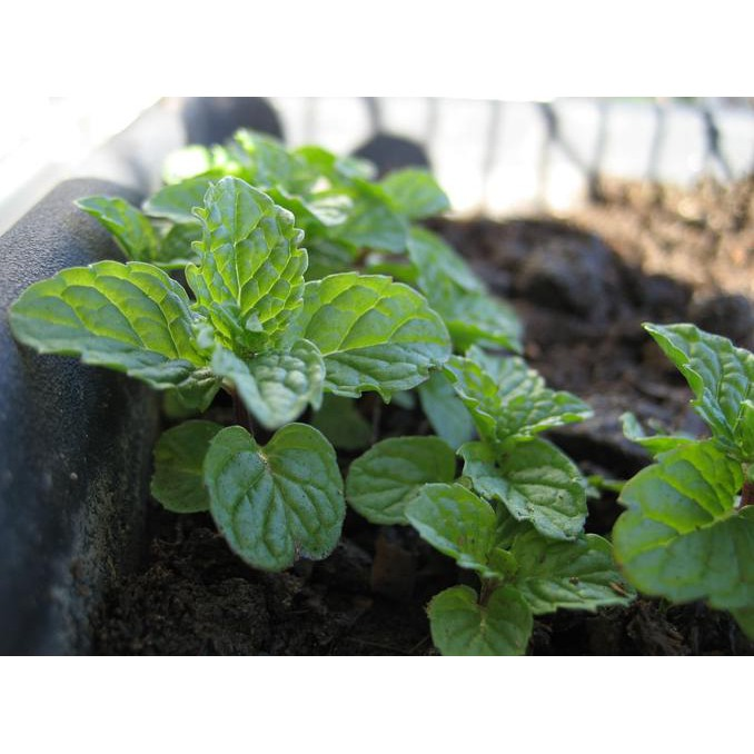 DIKSON 30% Bibit / Benih / Seeds Herb Peppermint Mentha Piperita Mudah Tumbuh God Quality   Shopee Indonesia