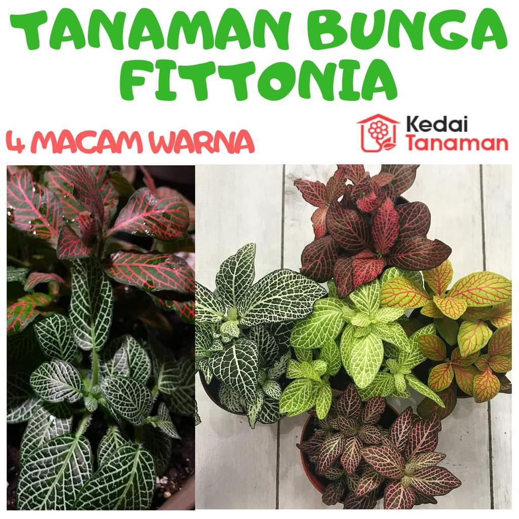 Tanaman Hias Bunga Fittonia Tanaman Hias Bunga Daun Fittonia Shopee Indonesia