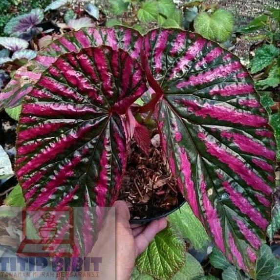 [ - J658] Tanaman Hias Bunga Begonia - Begonia Rex Walet - Daun Begonia Walet - Begonia Rex