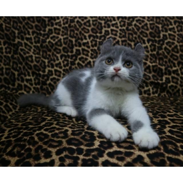 Jual Kucing British Shorthair Murah Bandung 81021 Nama Untuk Kucing Comel Lucu Dan Unik