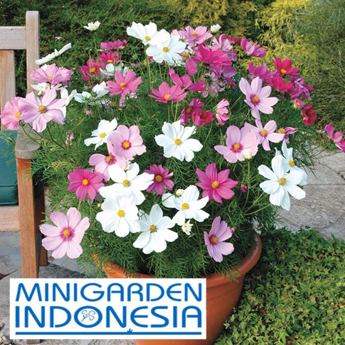3 Benih Bunga COSMOS Dwarf Sonata Mixed F1 Mr. Fothergills Bibit tanaman | Shopee Indonesia