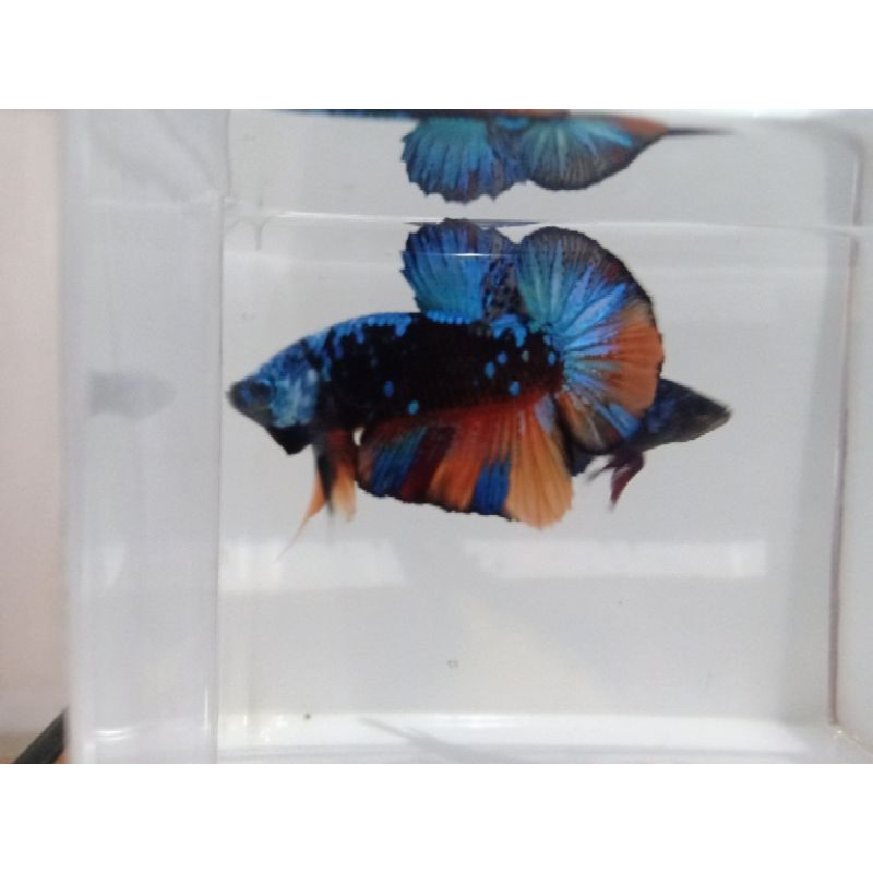 1Pair Avatar Nemo / Avatar Fire / Cupang Avatar / Nemo Black Star Galaxy