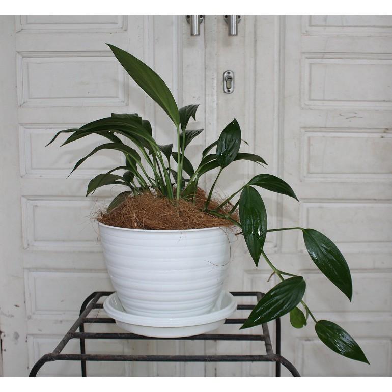 tanaman hias indoor epipremnum amplissimum murah