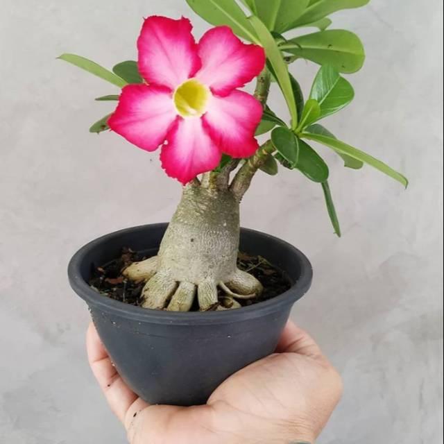 Tanaman Bunga Adenium Obesum Kamboja Jepang Bibit Adenium Kamboja Jepang Kamboja Jepang Shopee Indonesia