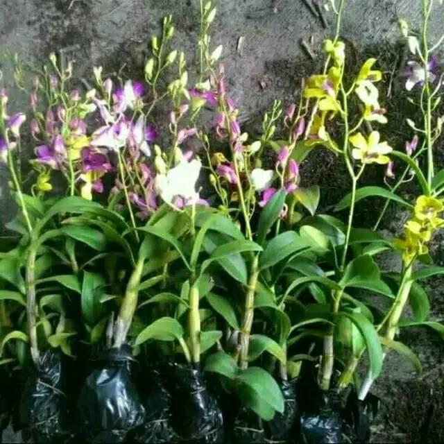 Tanaman Hias Anggrek Dendrobium Bunga Anggrek Asli Tanaman Hias Bibit Tanaman Murah Shopee Indonesia