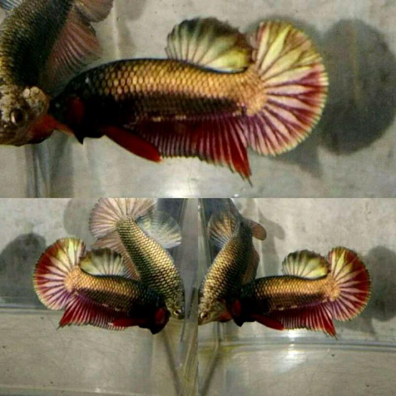 Ikan Cupang Avatar Gold